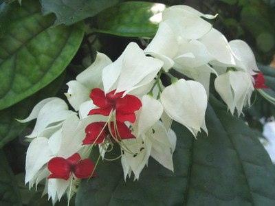 Цветы клеродендрум и их виды