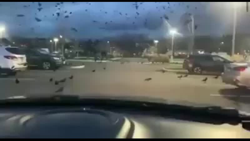 Plagas de Cuervos y moscos gigantes llegan a la zona cero del Virus en