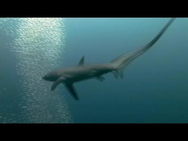 Акулы охотятся хвостом как кнутом