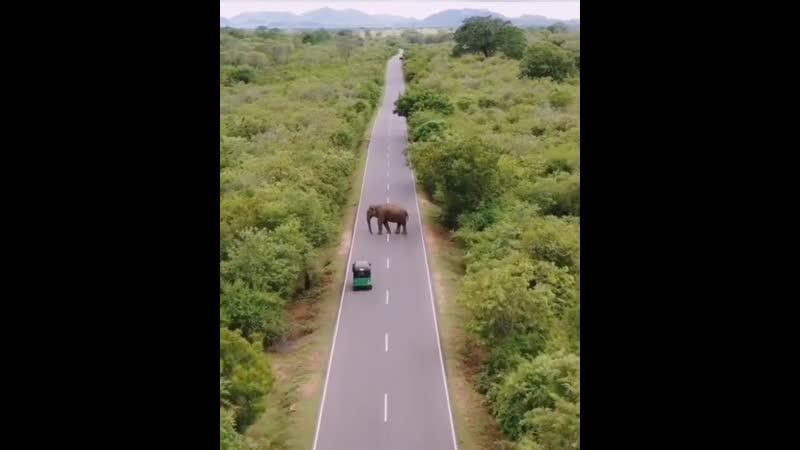 Дикий слон на Шри Ланке
