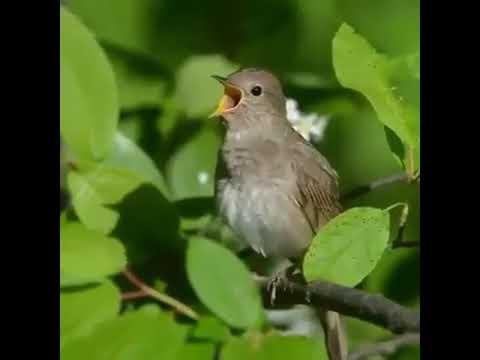 Соловей поет соловушка видео как же красиво поет соловей Звуки пения птиц
