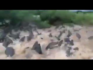 Река кишит  крокодилами