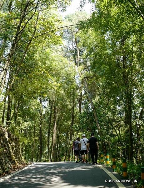 Бамбуковое море на сто ли Ландшафтный парк Байличжухай, или Бамбуковое море на сто ли, находится в районе Лянпин города Чунцина /Юго-Западный Китай/. Бамбуковые деревья более чем 30 пород