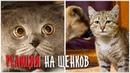 Реакция котов на щенков в доме. Немного в шоке