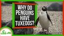 Countershading Why Do Penguins Wear Tuxedos
