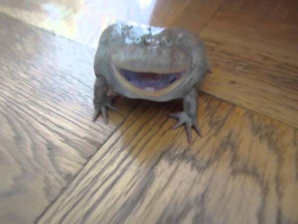 凄い声のバジェットガエル Screaming Budgett's frog