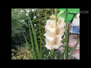 Гладиолусы-цветы моего детства