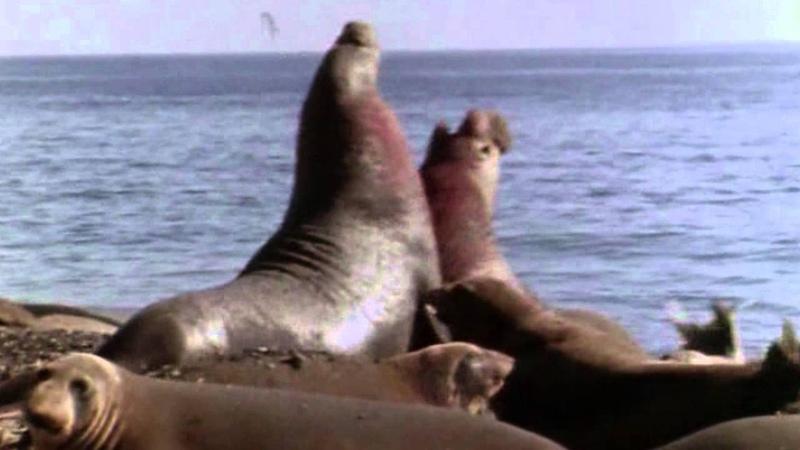 11 1969 Возвращение морских слонов Подводная одиссея команды Кусто