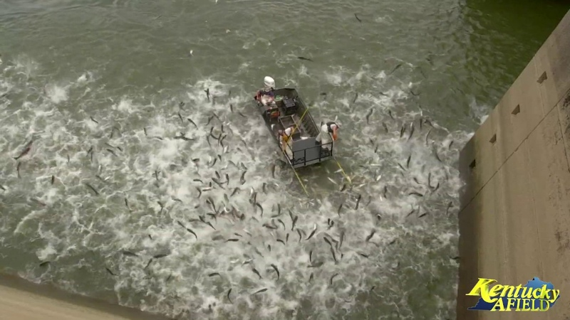 Electrofishing a Huge School of Asian Carp Below Barkley Dam