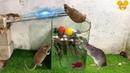 Water mouse trap How to make homemade water rat traps Electric Mouse trap Saving a lot of Rat
