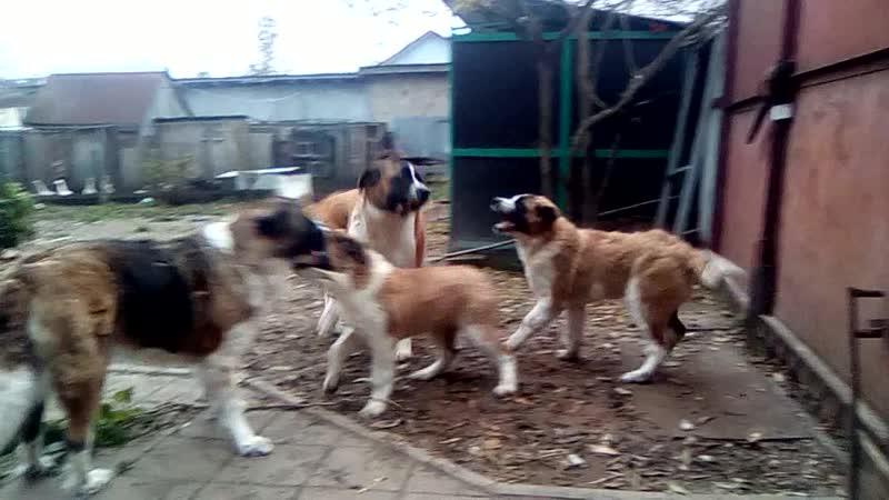 Московские сторожевые, Мама Лора и бабушка Каролинка воспитывают малышек (4 мес) Вилку и Данку.