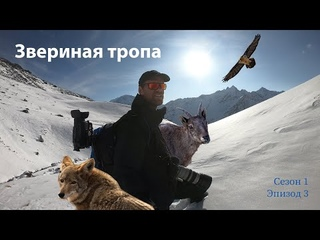 Звериная тропа Как заснять Огромное стадо туров, дикие животные на склонах Эльбруса (Сез1 Эп3)