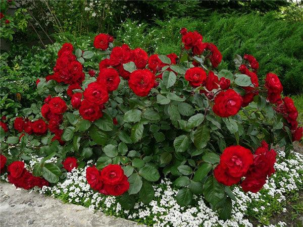 Идеальные соседи розы на клумбе или что посадить рядом с розами.