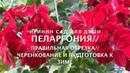 ПЕЛАРГОНИЯ Правильная обрезка, черенкование и подготовка к зиме