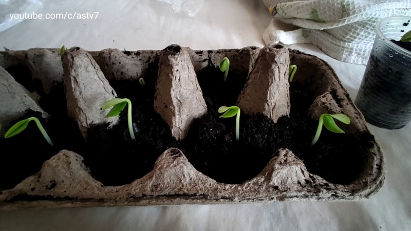 How to germinate seeds in 3 days - ★Best method to grow Cucumber Plants from seeds at home