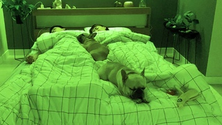 What Sleeping With Two French Bulldogs With FUNNY Sleeping Habits Looks Like