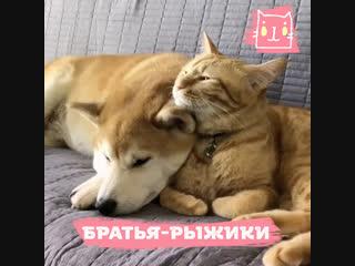 Дружные сиба-ину и кот