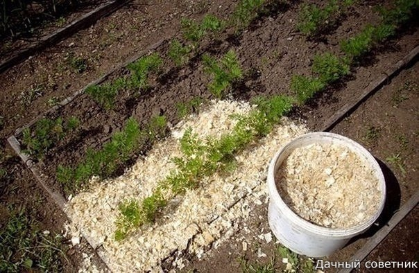 Если вы будете каждый год вносить в почву опилки, то земля станет легкой, рыхлой и мягкой. Ее воздухообмен повысится, в результате чего почва станет хорошо впитывать влагу. На поверхности земли будет прорастать меньше сорняков, да и корка образовываться н