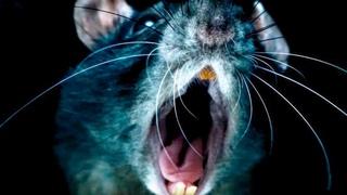 Всё что нужно знать о крысах