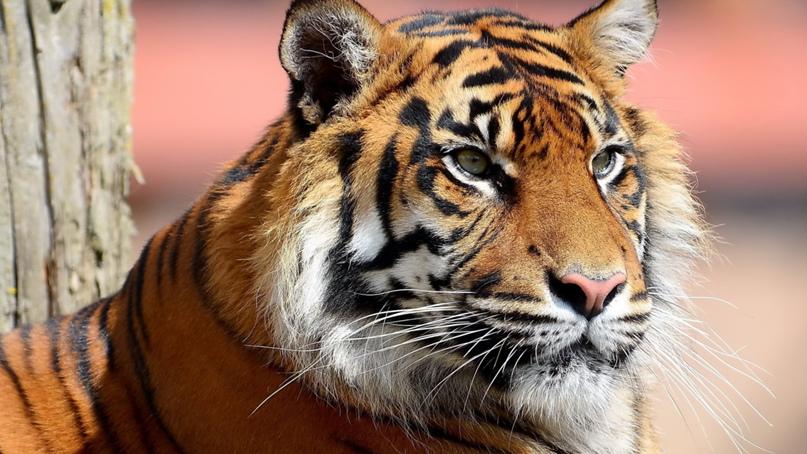 Дикие тигры!, изображение №9