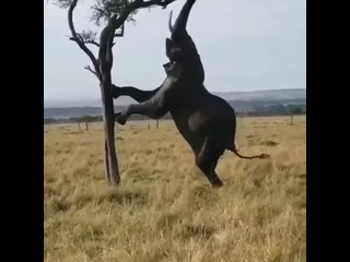 A breathtaking view of an elephant climbing a tree.