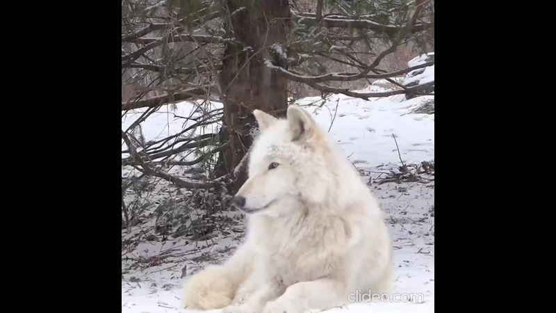Beautiful wolf howls in the snow 1080p 30fps h264 128kbit