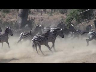 Львы едят еще живую зебру. Серенгети.