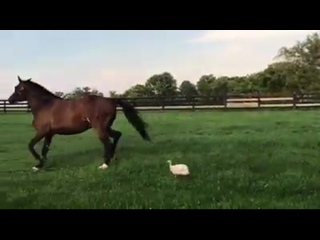 The Bird (Drill Sergeant Guinea hen) exercising Whip the horse