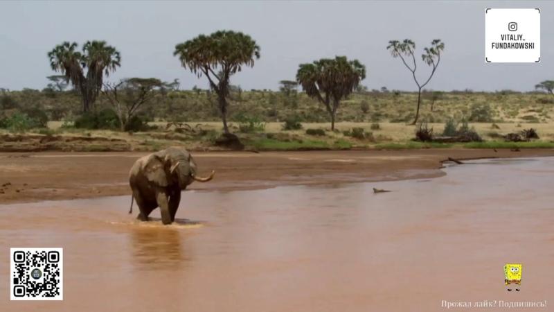 Великие миграции в природе Слоны 12