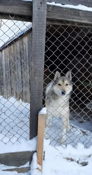 Пропала собака - западно сибирская лайка (кобель) ...