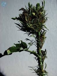Борьба с инфекционными болезнями роз, изображение №28