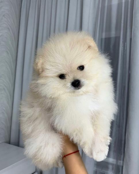 Предлагаются к продаже щенки померанского щпица, п...