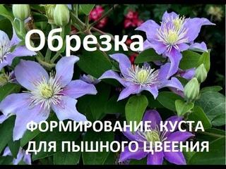 Как  обрезать клематисы 1, 2 и 3 группы. Формируем куст, чтобы цветение было обильным и долгим..