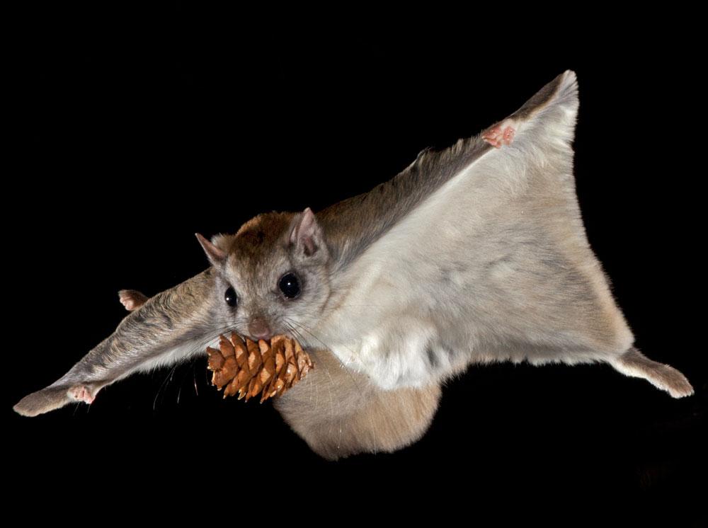 источником фото белки летяги приколы организациях ип