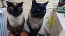 Двое из ларца одинакова лица Тайцы Котя и Китя