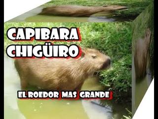 Chigüiro capibara, carpincho o chigüire, Es el roedor viviente de mayor tamaño y peso del mundo