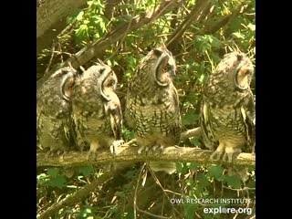 This group of Long-eared owls heard a noise in the woods,