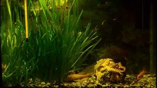 г.  Маленький аквариум.  Золотые рыбки обживаются.