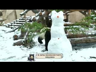 Панда в московском зоо похозяйничала со снеговиком